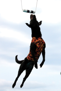 "Hudson Chrysler technician Wayne McClaine's ""Fire,"" a black Labrador, competes at the world level in dock jumping."